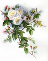 Белые розы. Марья Искусница